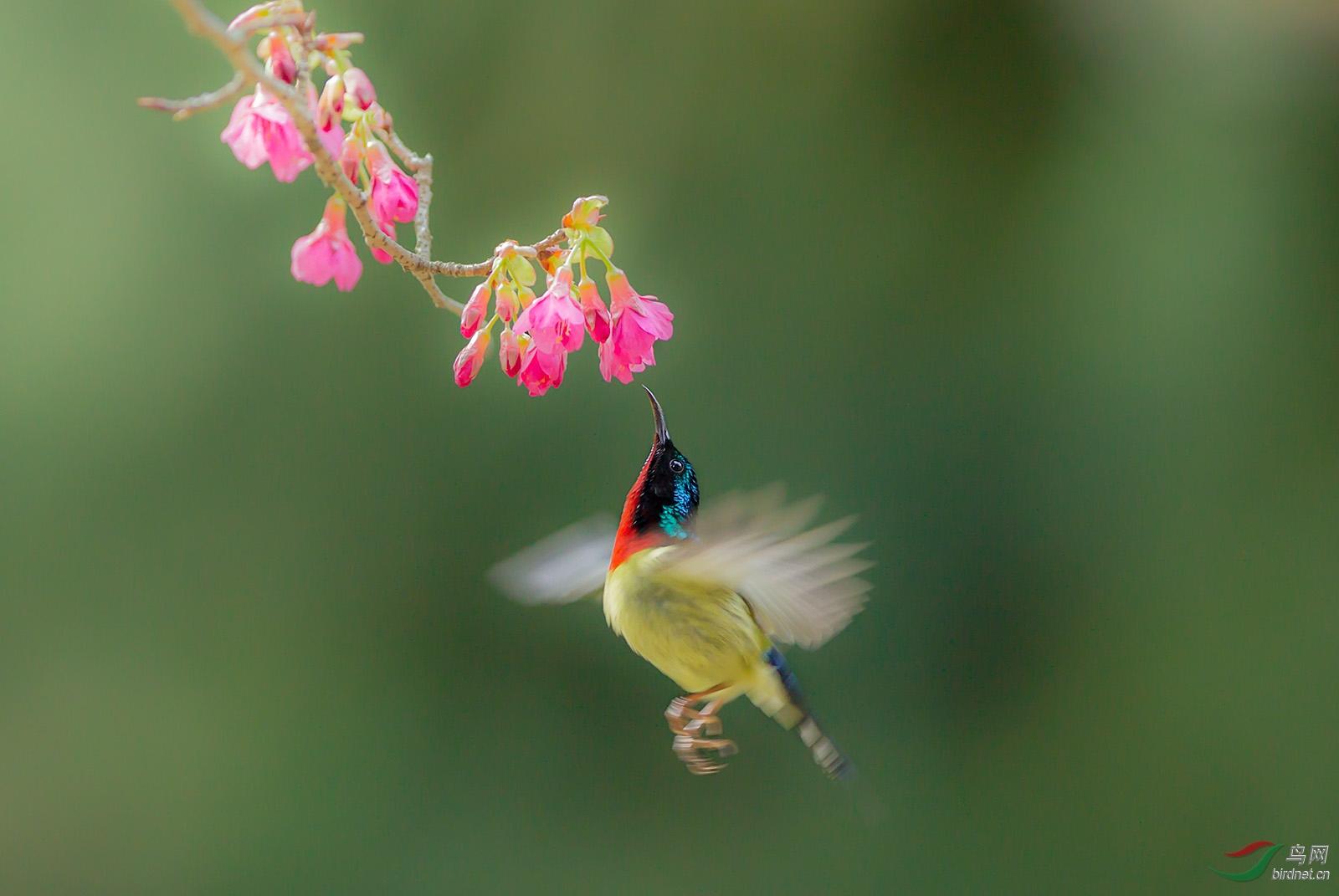 叉尾太阳鸟.jpg