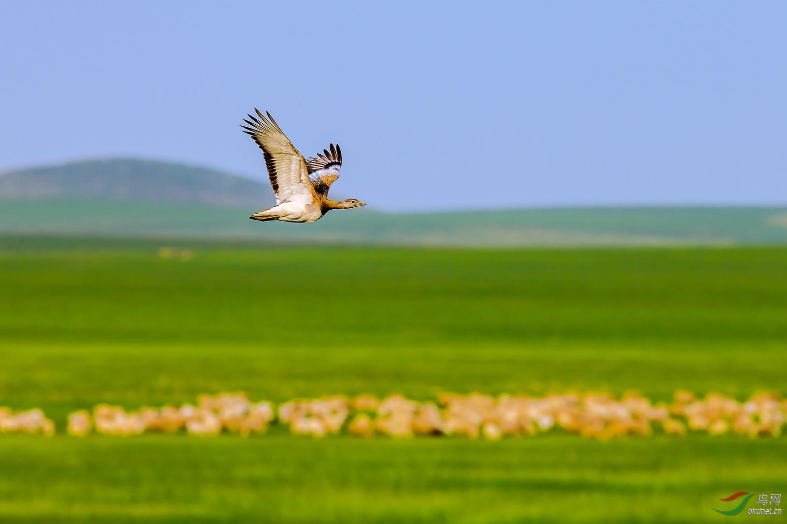 __9飞跃羊群.jpg