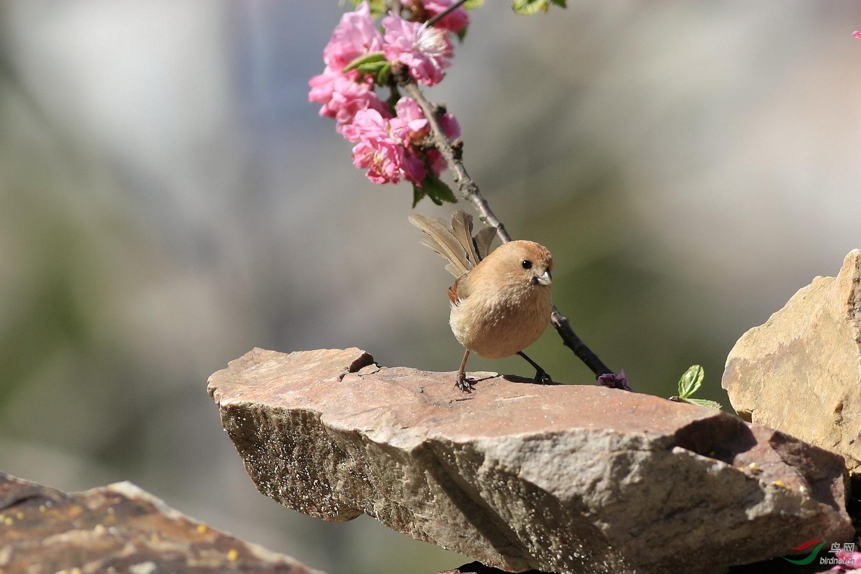 春光里的棕头鸦雀之一