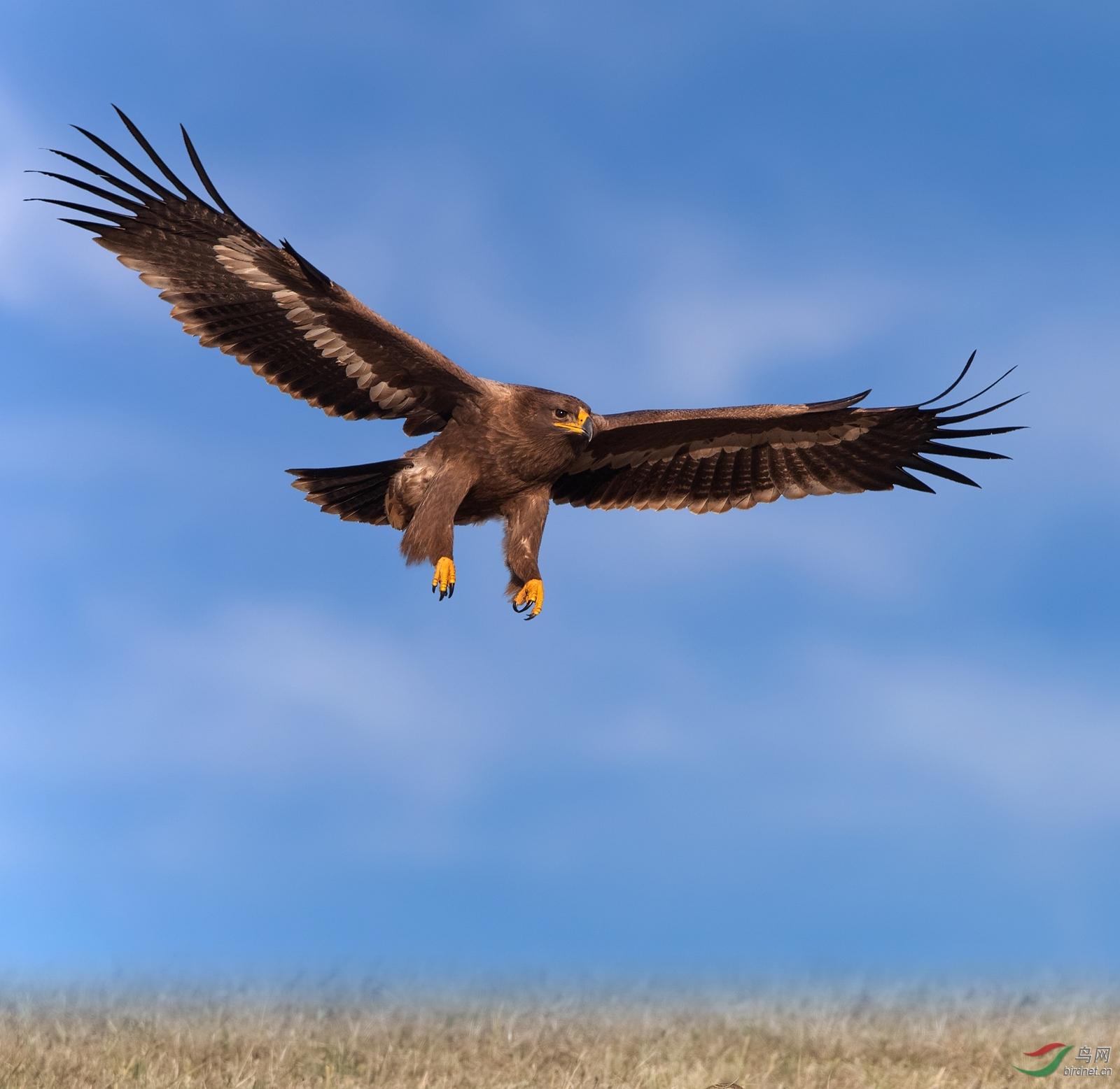 J4W9138  大草原的猛禽      内蒙古版.jpg