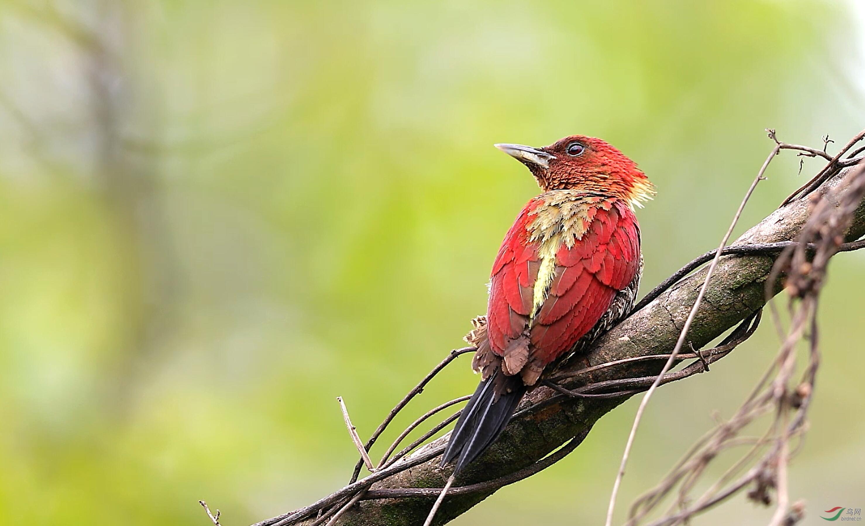镶红绿啄木鸟视频截图.jpg