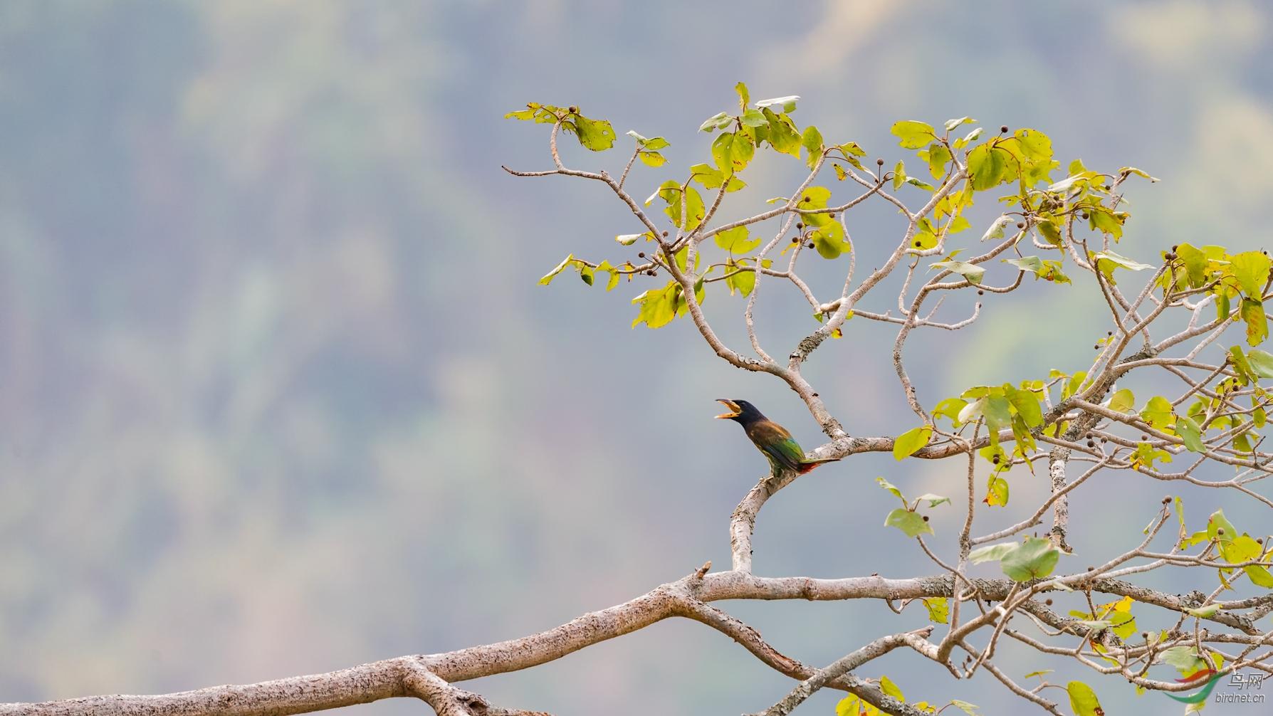 大拟啄木鸟