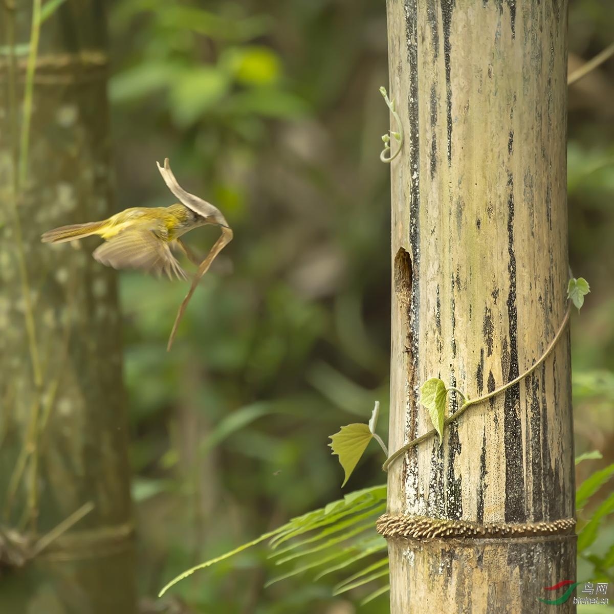 图二、图三:忙碌的黄腹鶲莺叼着叶子来铺垫这个现成的房子,风将树叶吹的挡住了黄腹鶲莺飞行的视线以至于撞 ...