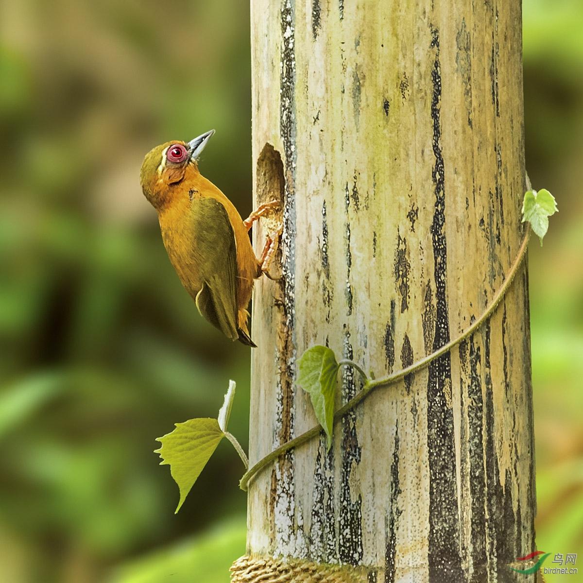 图六:白眉棕啄木鸟回来了,发现自己的家里来了不速之客,于是它决定看看是谁闯进了自己的家。