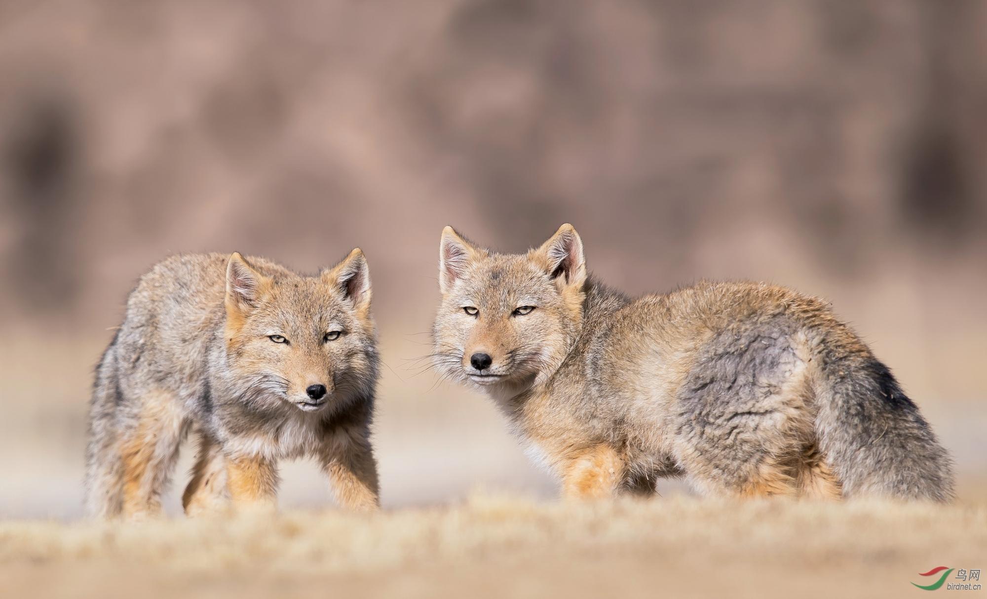 藏狐狸.jpg
