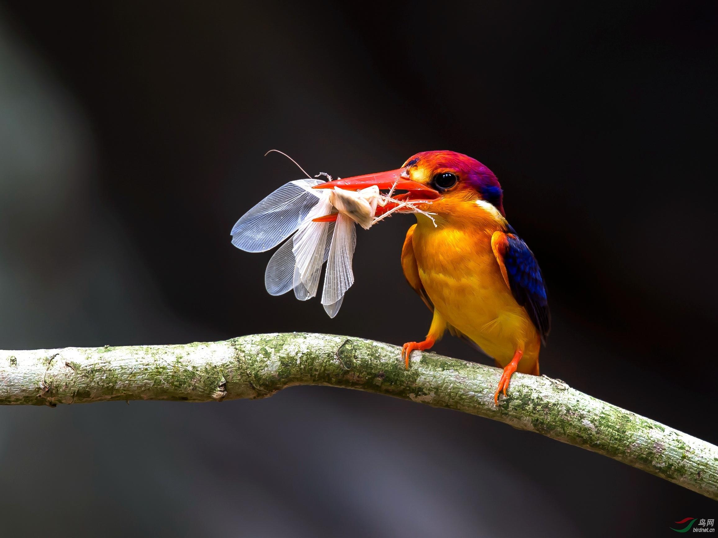 三趾翠鸟.jpg