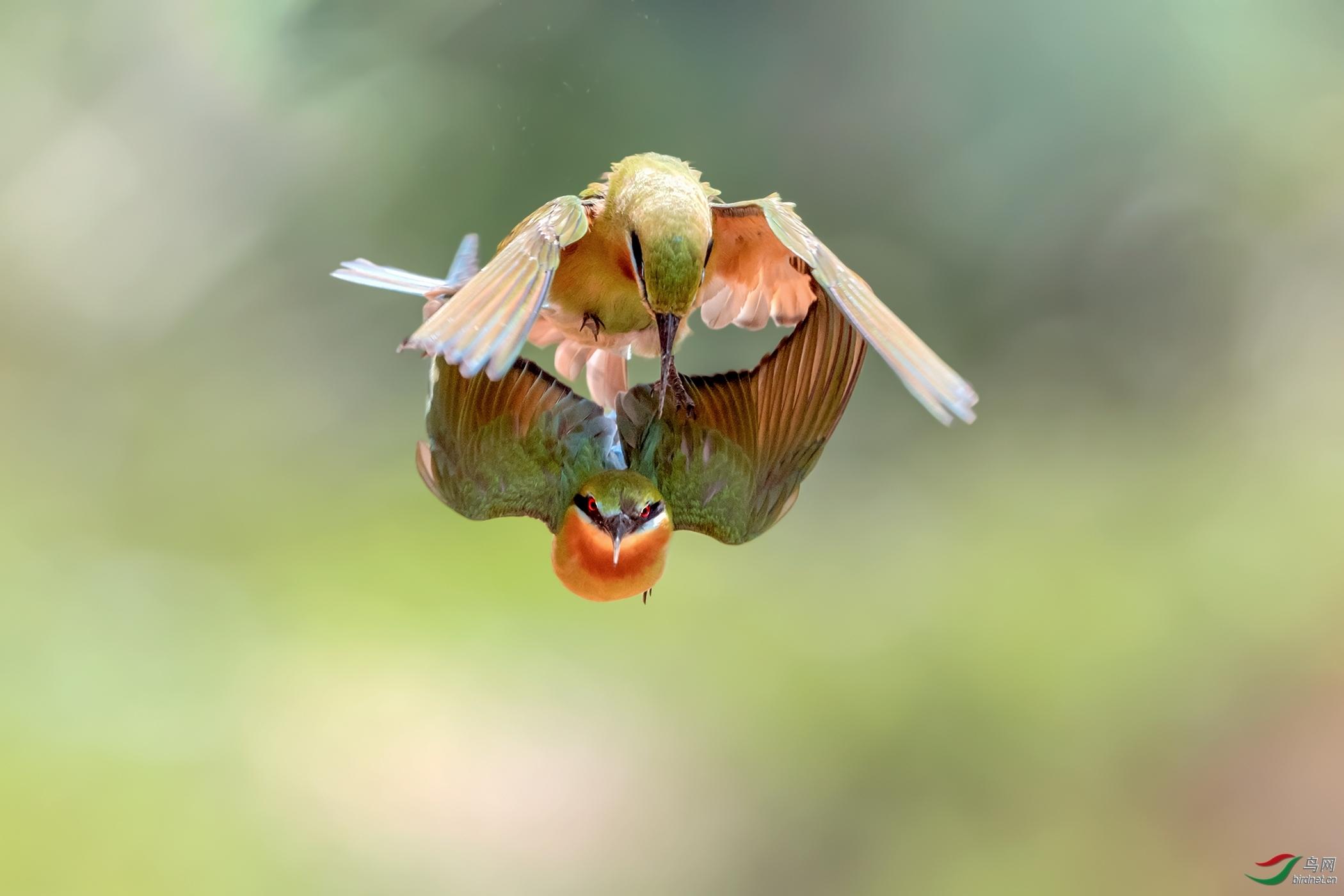 栗喉蜂虎《空中叠舞》.jpg
