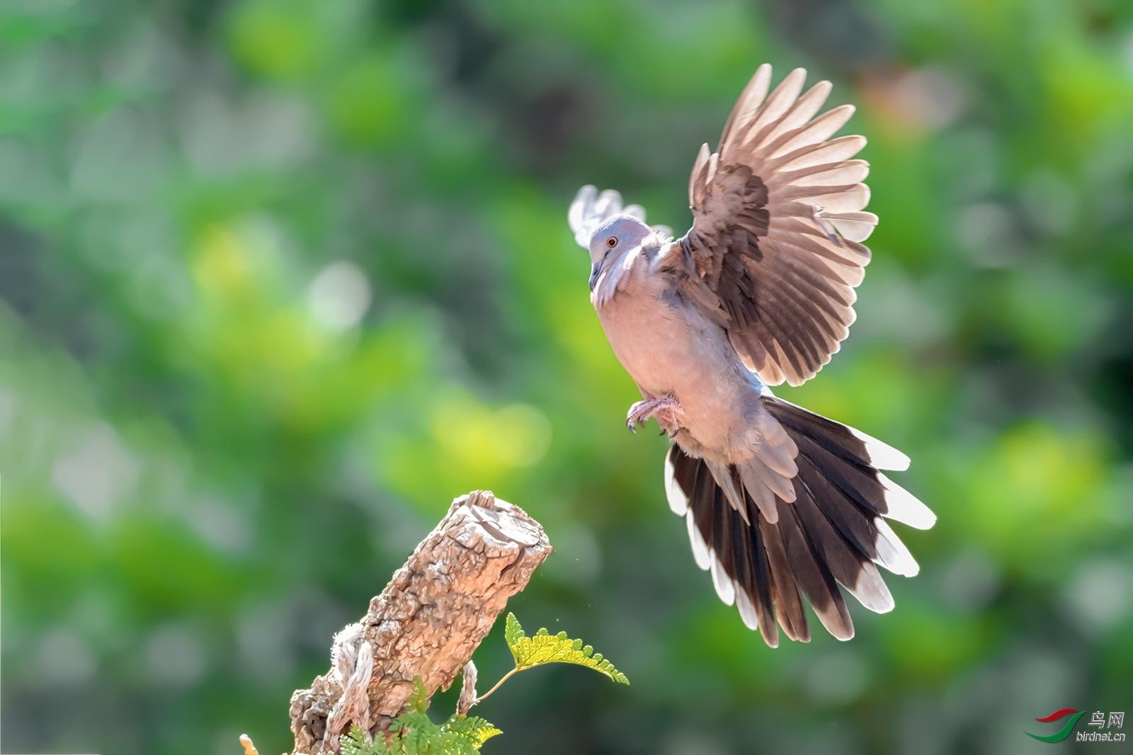 珠颈斑鸠《展翅》.jpg