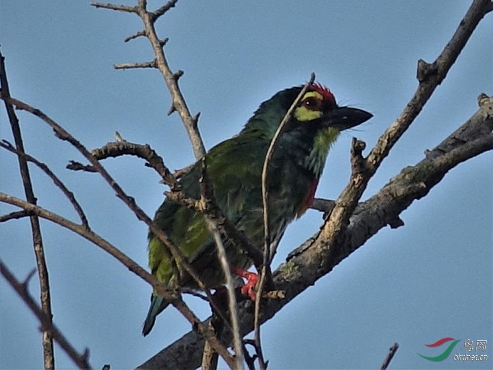 赤胸拟啄木鸟