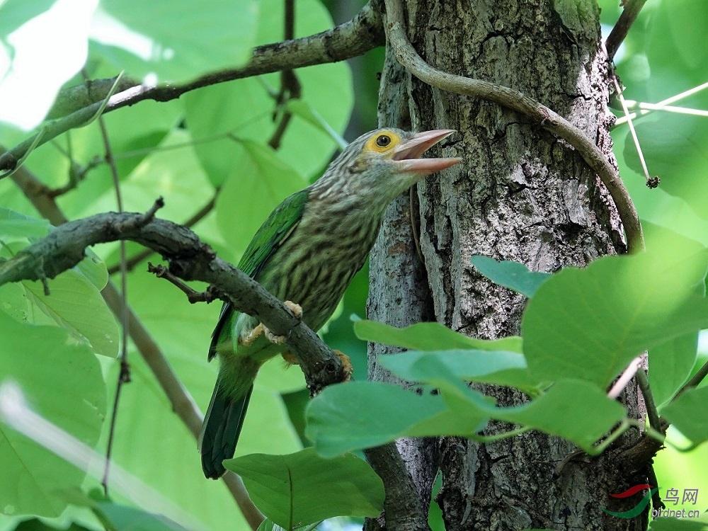 斑头绿拟啄木鸟