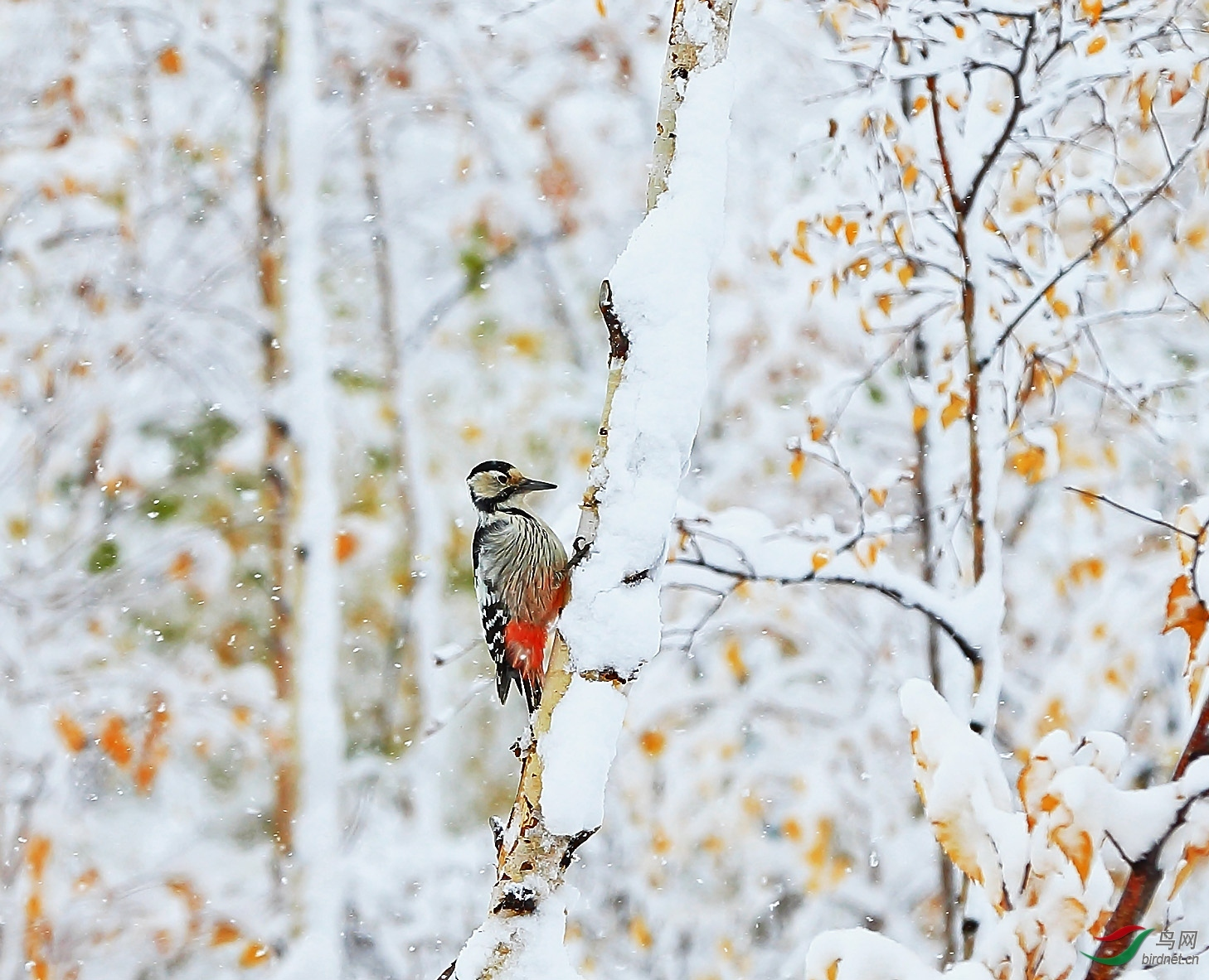 大斑啄木鸟.jpg