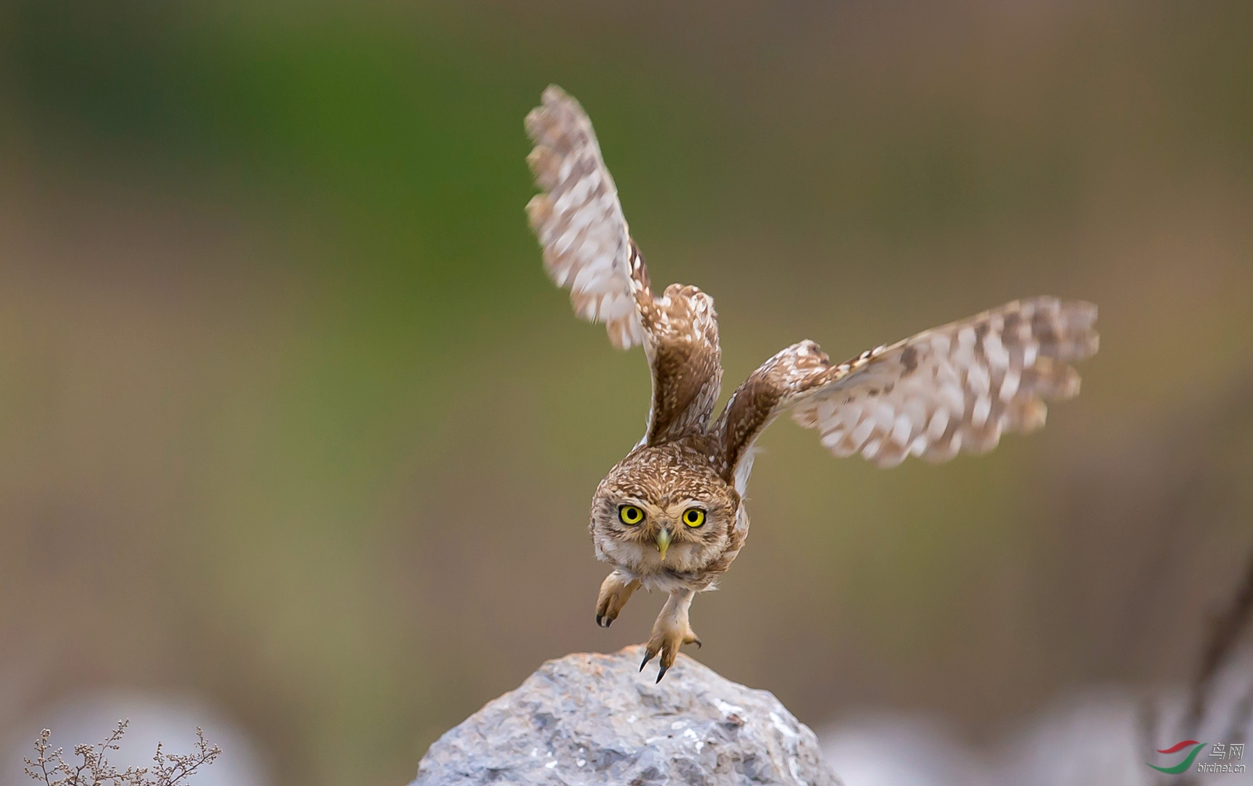 纵纹腹小鸮