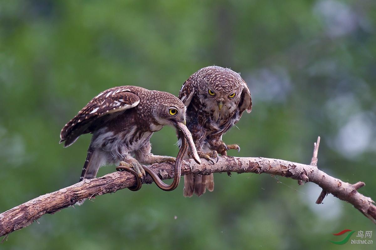《亲鸟教子猎杀技》(艺术类)张丽亚摄13972211459.jpg