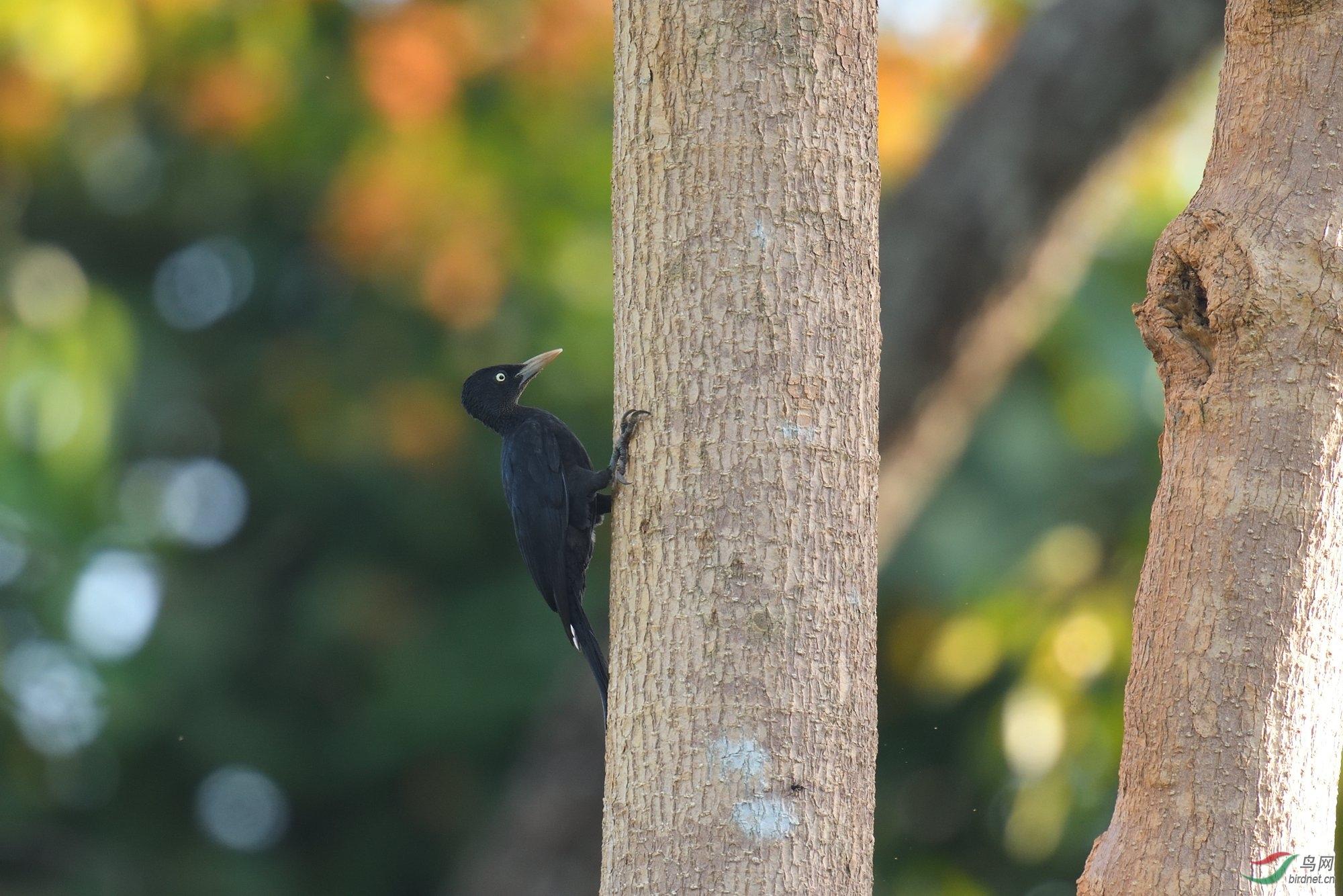 乌黑啄木鸟