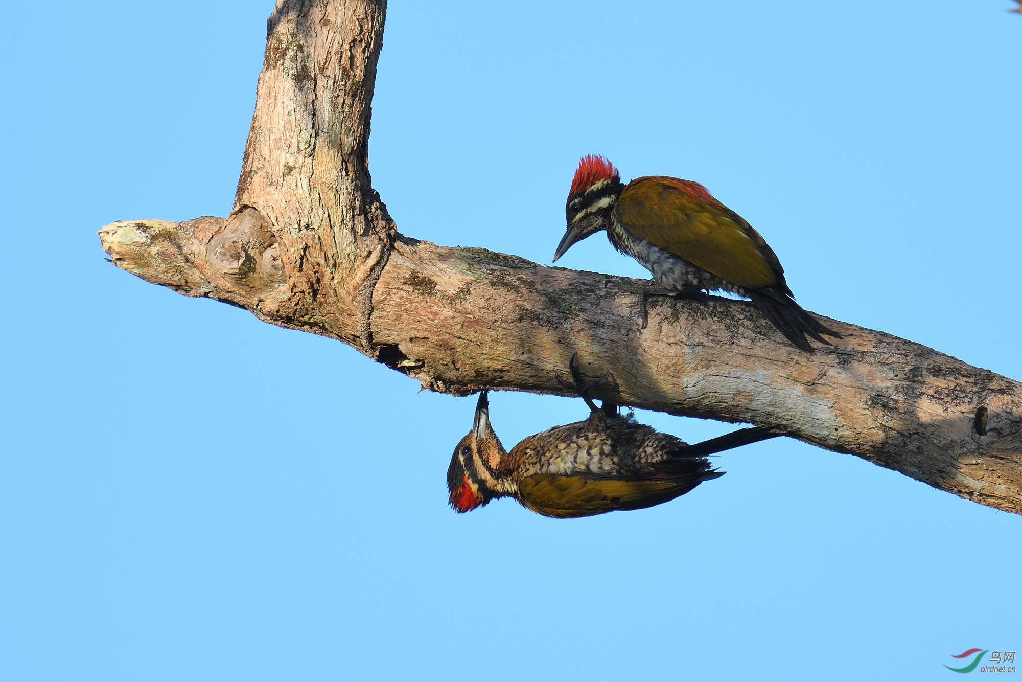 斑喉三趾啄木鸟