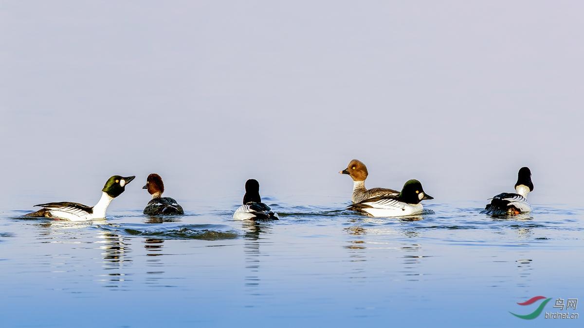 鹊鸭  摄影:金广山    拍摄 地点:叶赫转山湖浅滩     保护现状:列入《世界自然保护联盟》(IUCN)国际鸟类红皮书,2009年名录 ver 3.1。.jpg