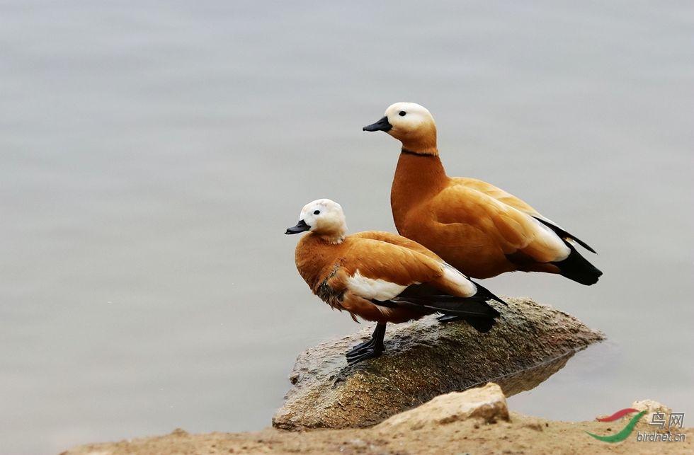赤麻鸭.jpg