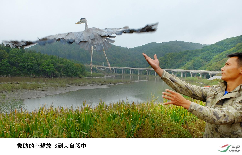 救助几个月的苍鹭放飞
