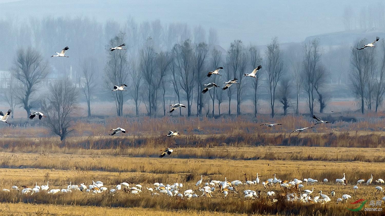 迁徙中的白鹤.jpg
