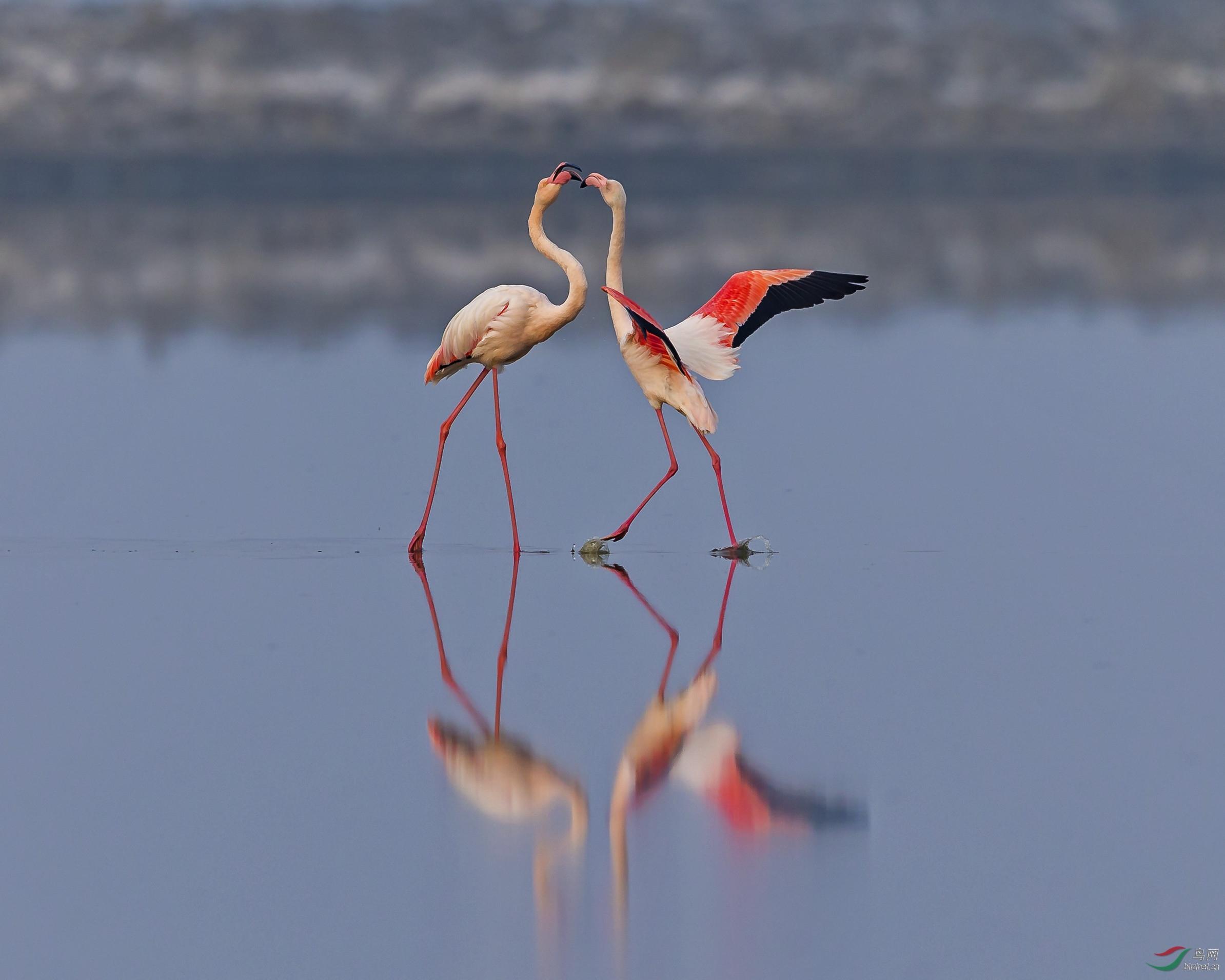 火烈鸟之舞