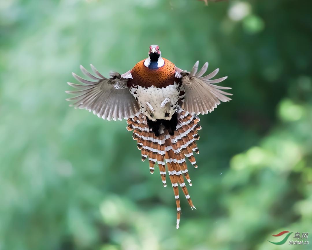 白颈长尾雉