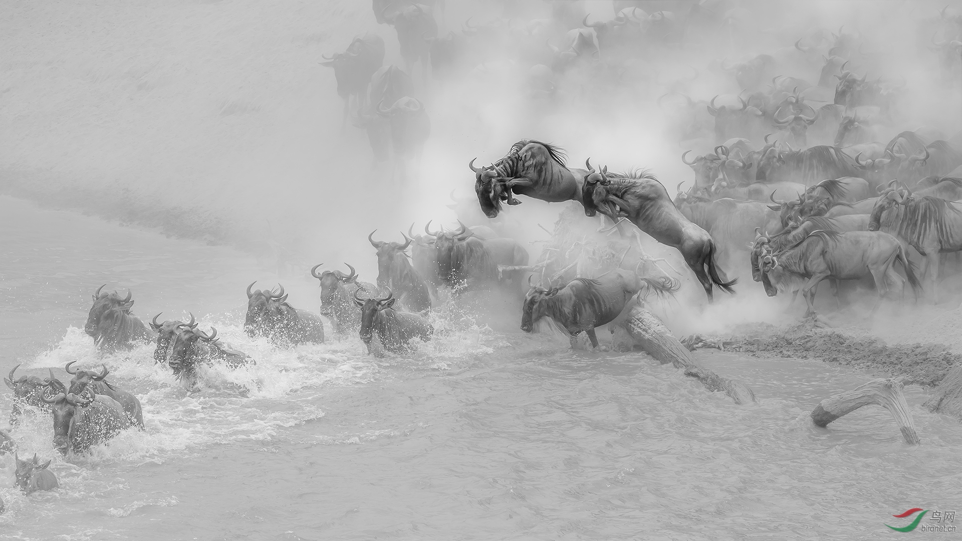 0254.wildbeest crossing C1920-菲舍捷.jpg