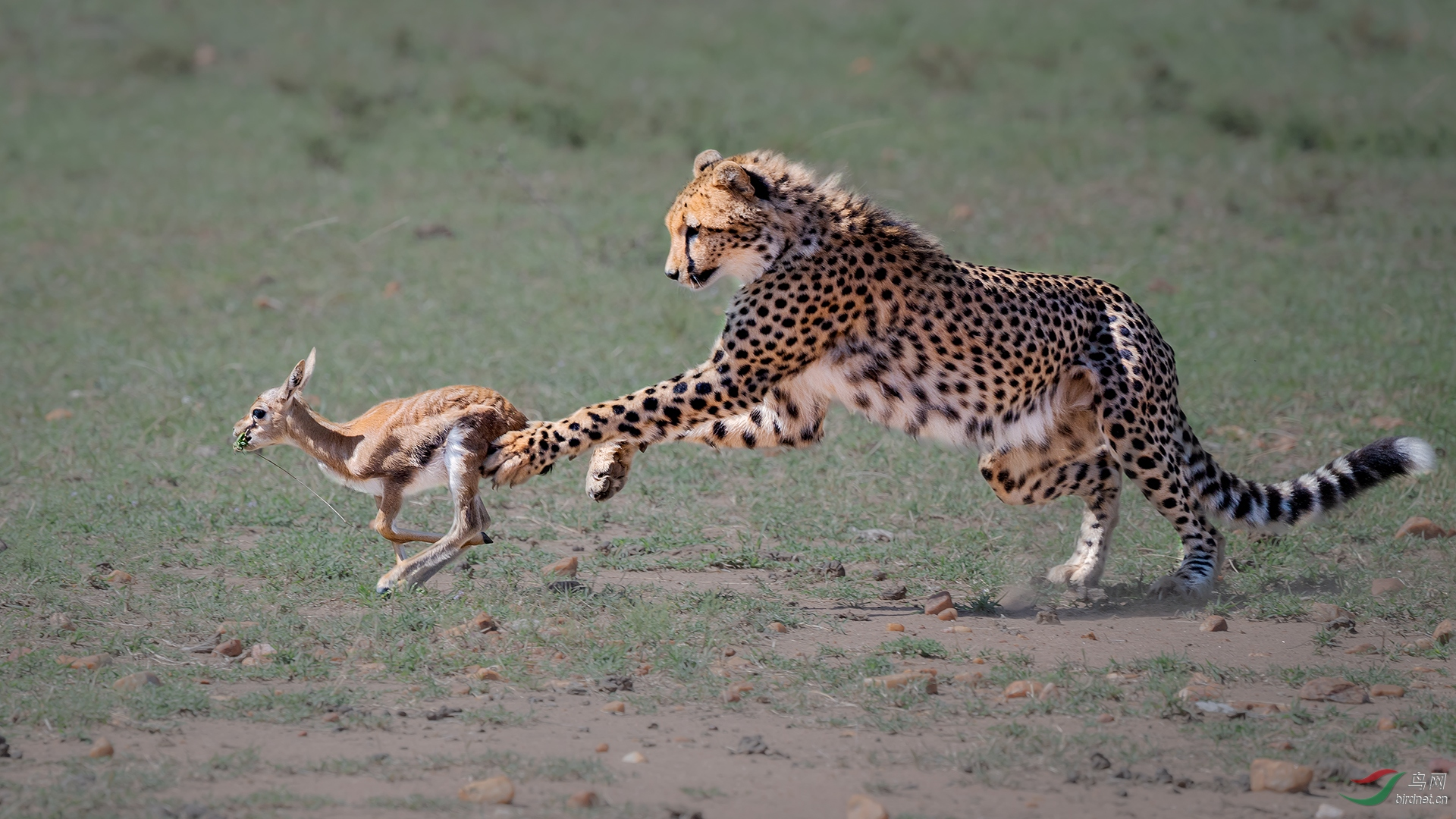 0253.Cheetah and Gazelle L1920-菲舍捷.jpg