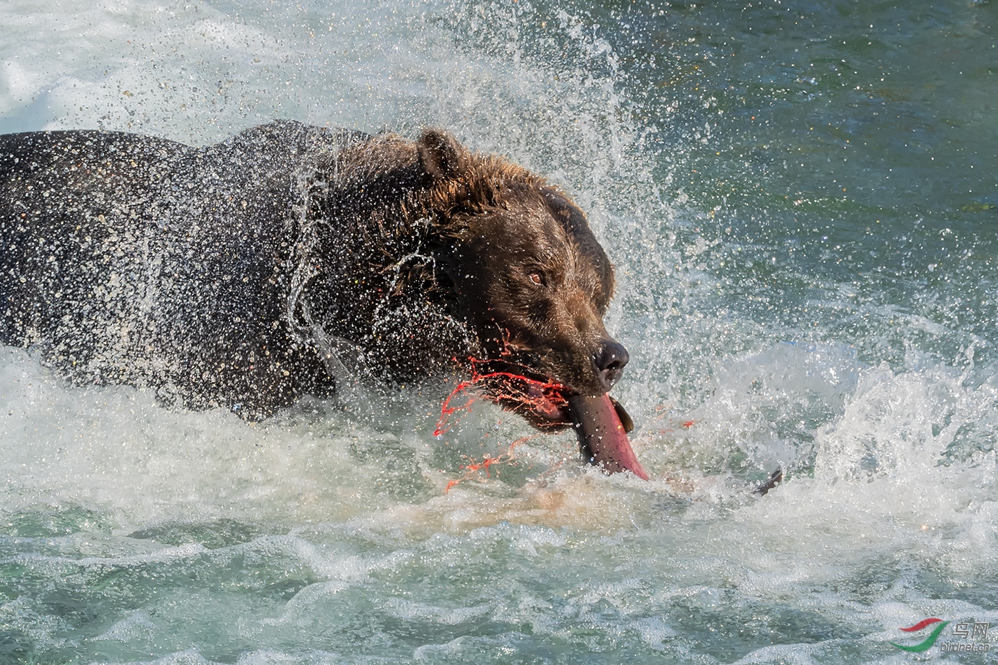 0261.Grizzly Bear Catch in water  s1400-菲舍捷.jpg