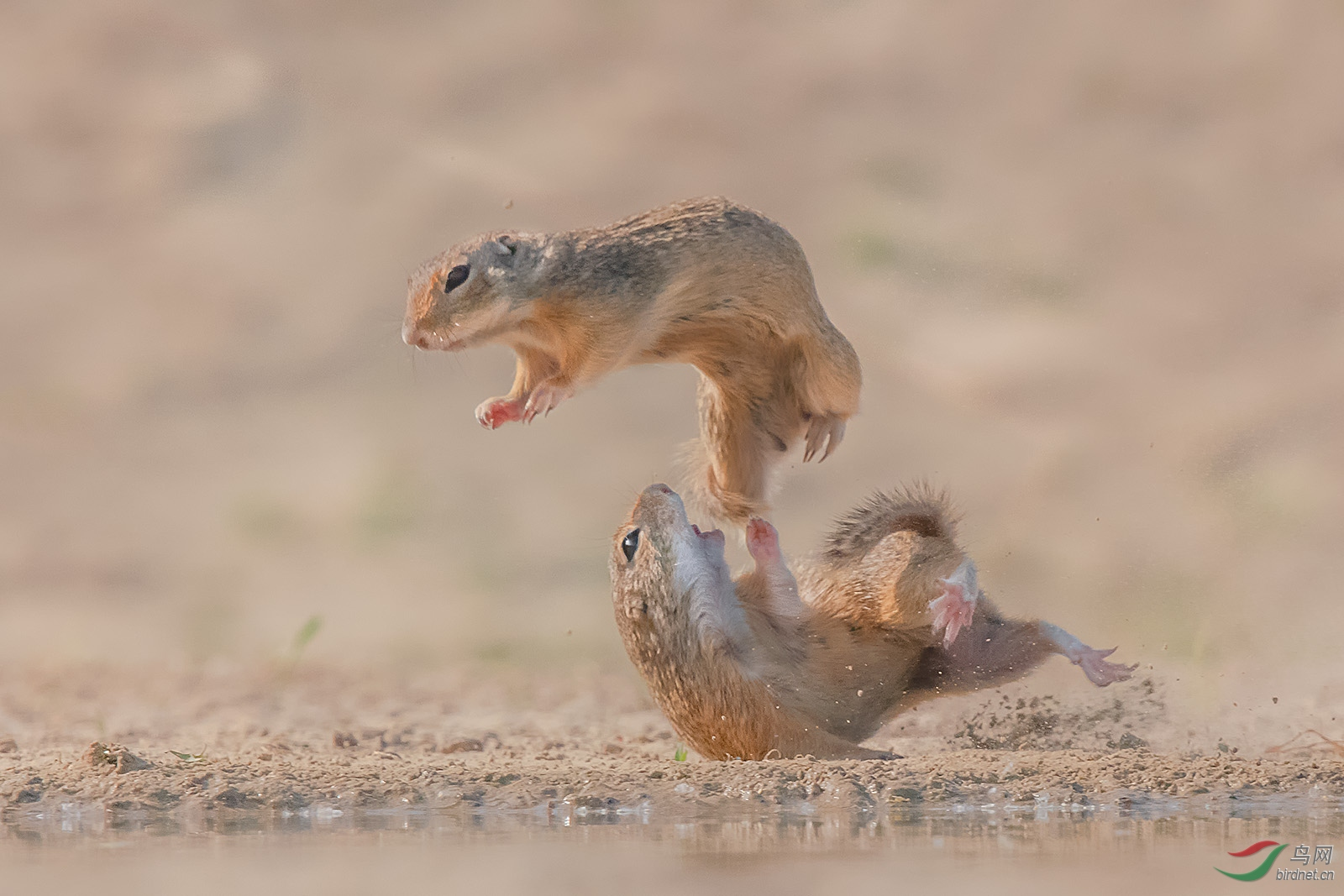 0288.飞了Richard Liground Squirrel2.jpg