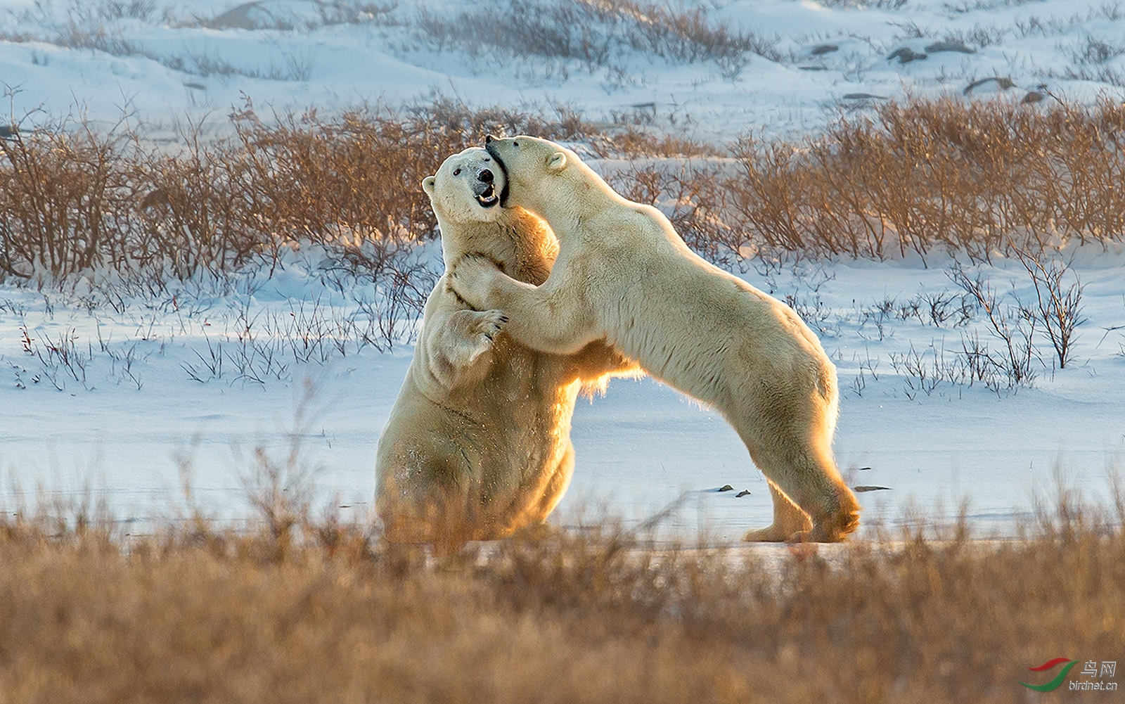 0349.强吻Richard LiPolar bears fight.jpg