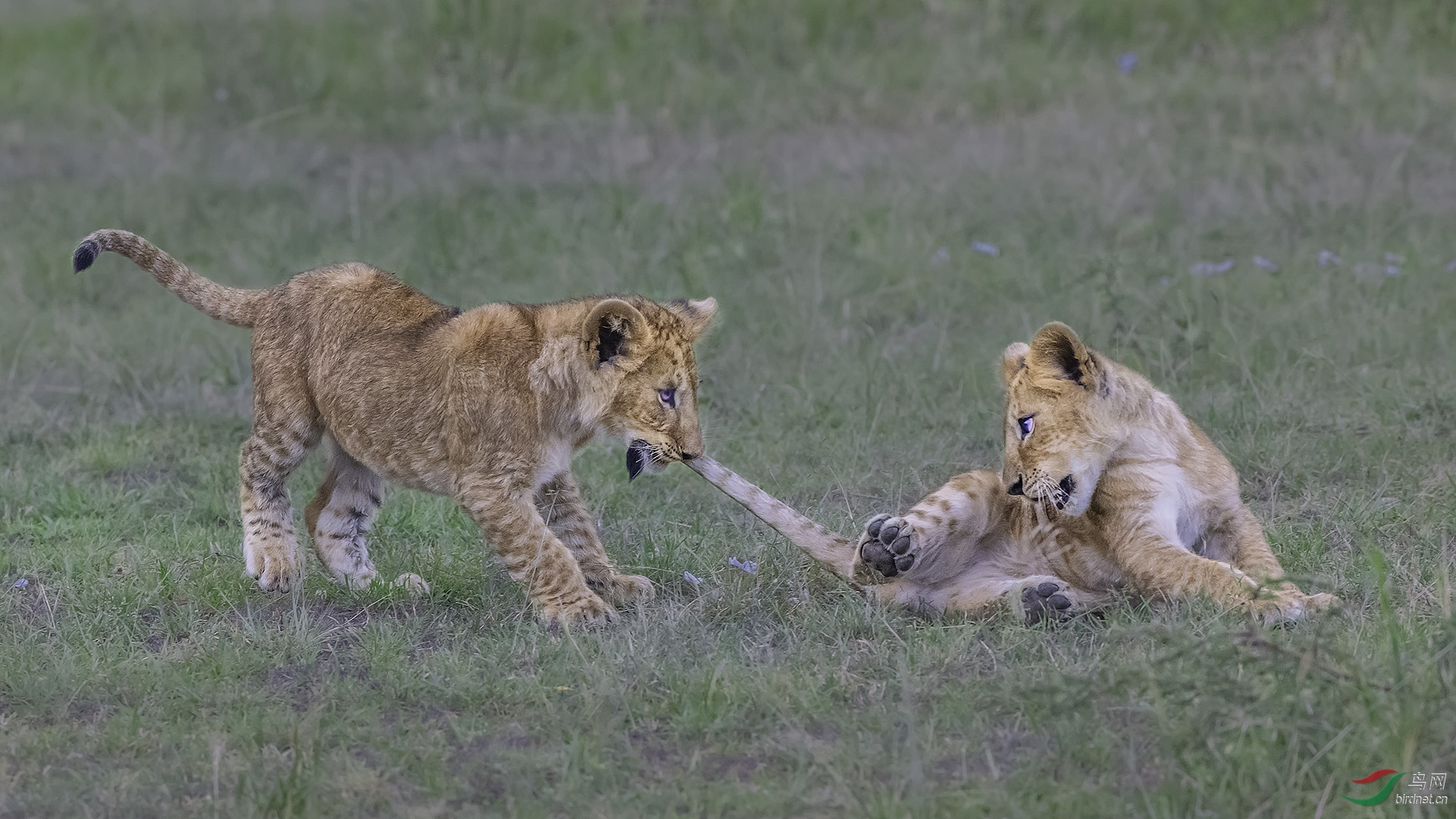 0445.开心Richard Lilion cubs fight.jpg