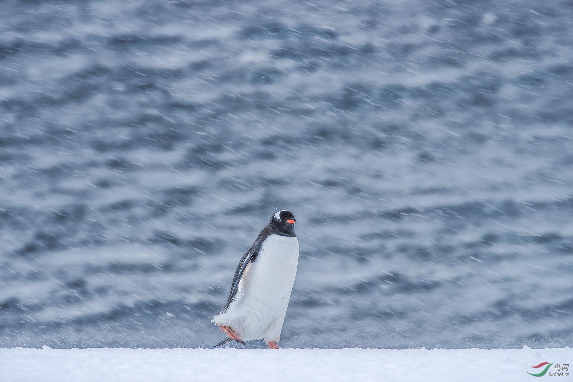 28----1867.风雪中的金图企鹅-肥肥.jpg.jpg