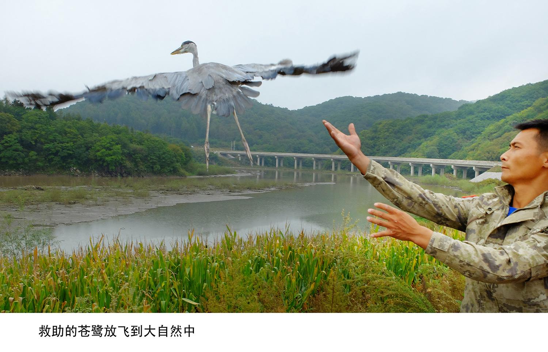 10,救助几个月的苍鹭放飞.jpg