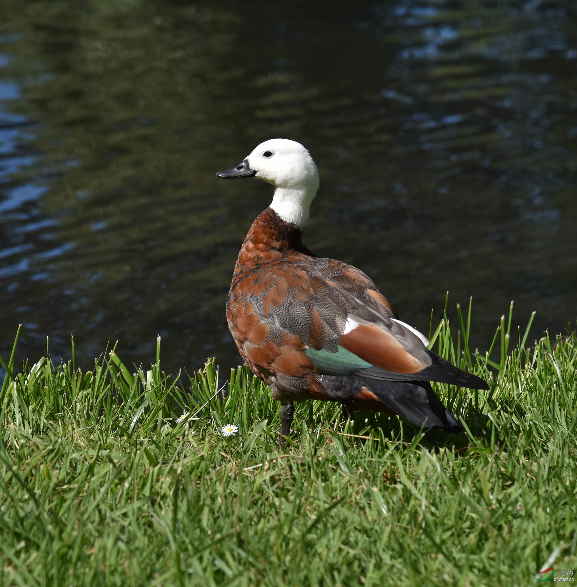 白颈黑胸麻鸭(雌)