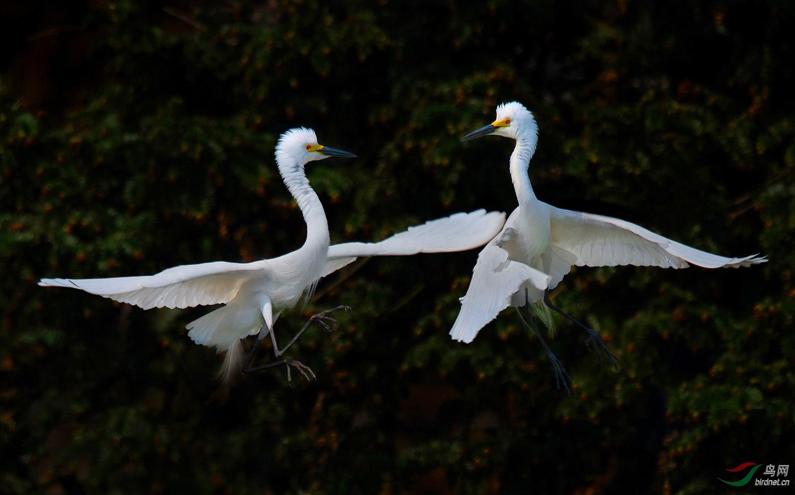 0127. 10898_一起跳舞_早起的小鸟-真实野生鸟类.jpg