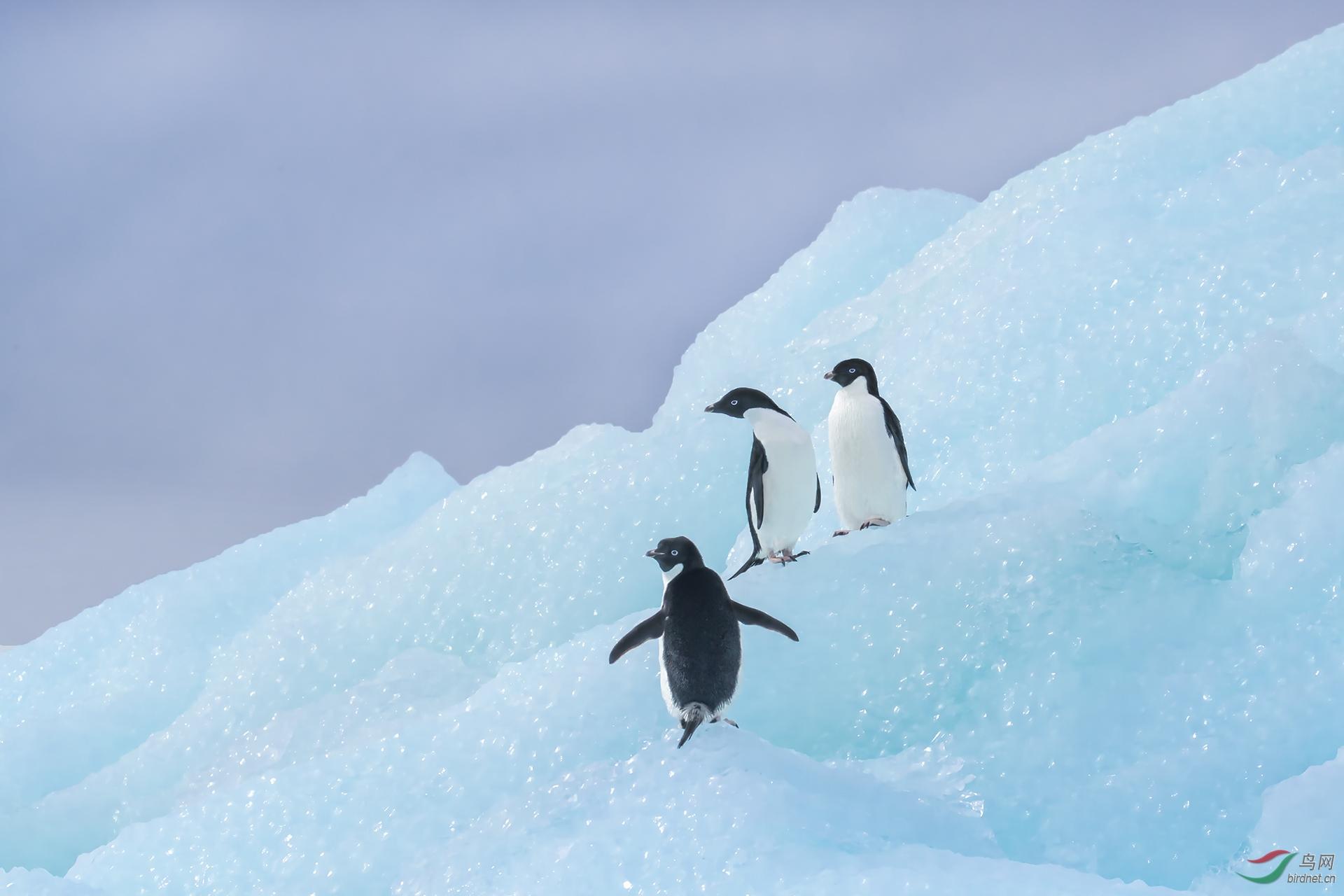 1688.蓝冰上的阿德利企鹅-肥肥.jpg