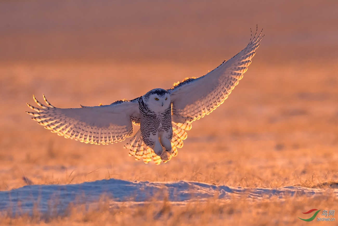 1799.逆光降落的雪鸮公主~看门老头.jpg