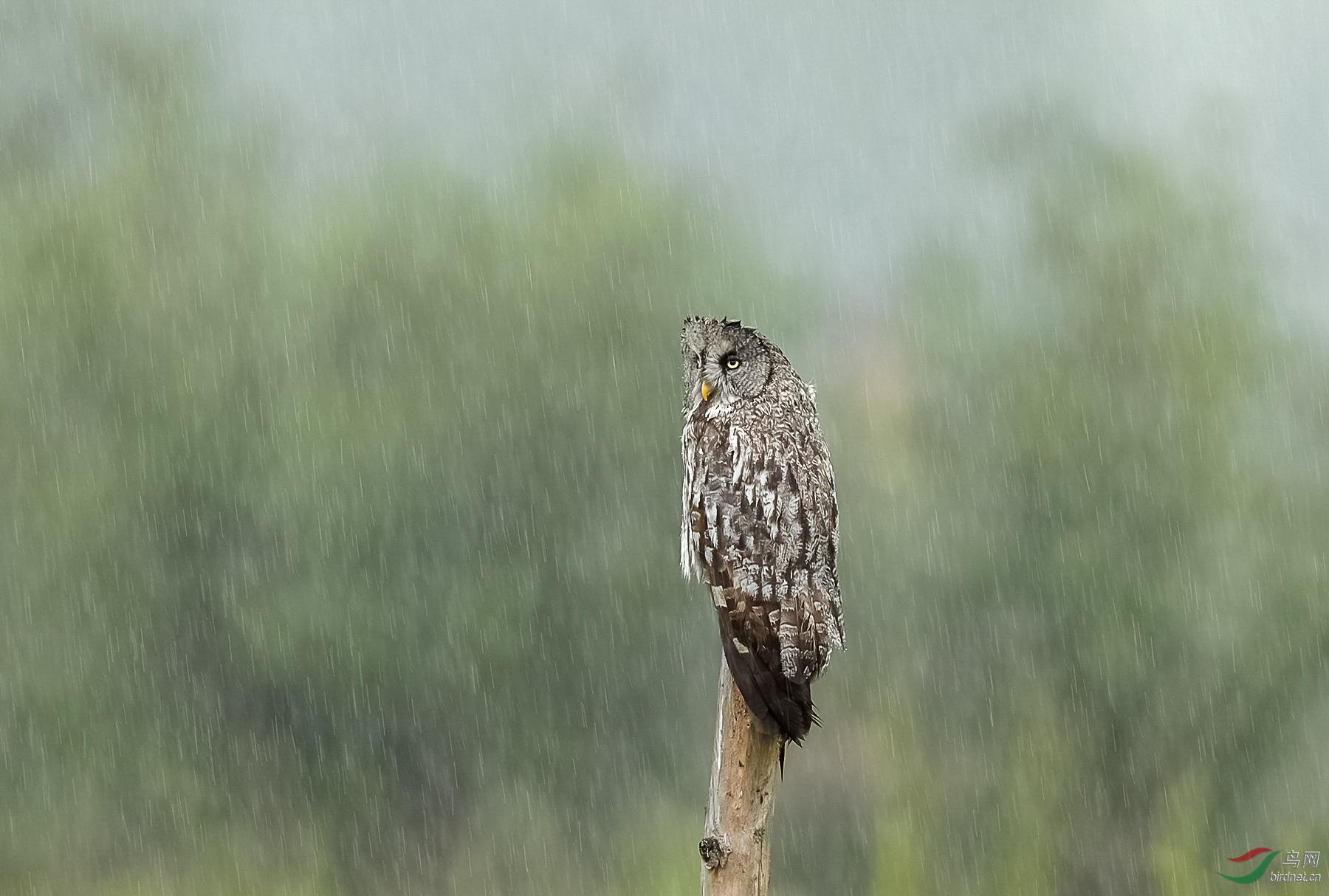 0228. 11183_在雨中_真实野生鸟类.jpg
