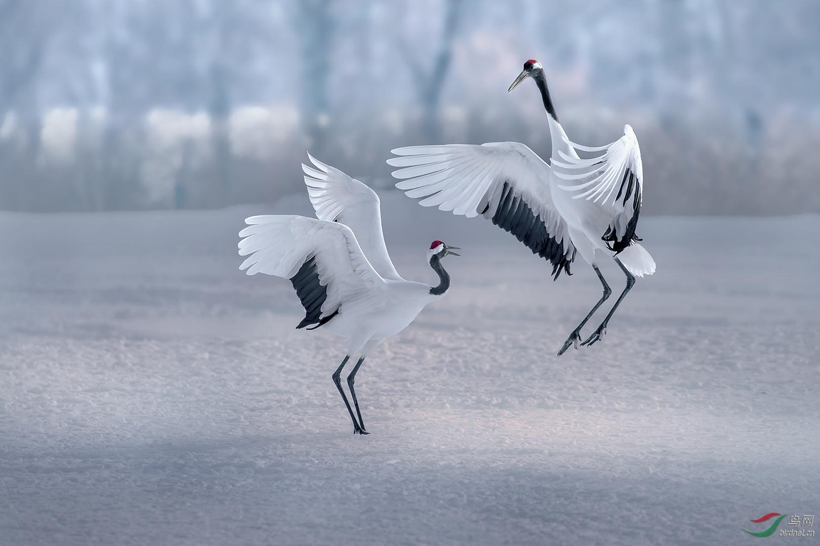 0519. 11846_雪域仙踪Snow crane_真实野生鸟类.jpg