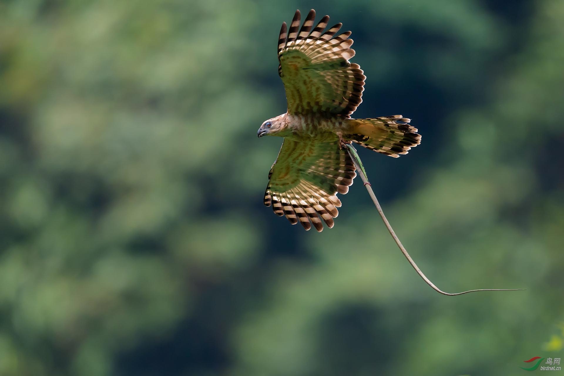 铜奖--新--0220.抓青蛇的褐冠鹃隼-松毅.jpg