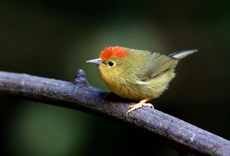 0223.红顶小鸟-野山.jpg