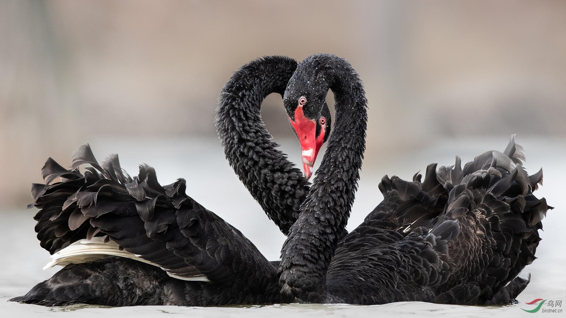 铜-0357.黑脸琵鹭队-鸟已飞过-黑天鹅 拷贝.jpg