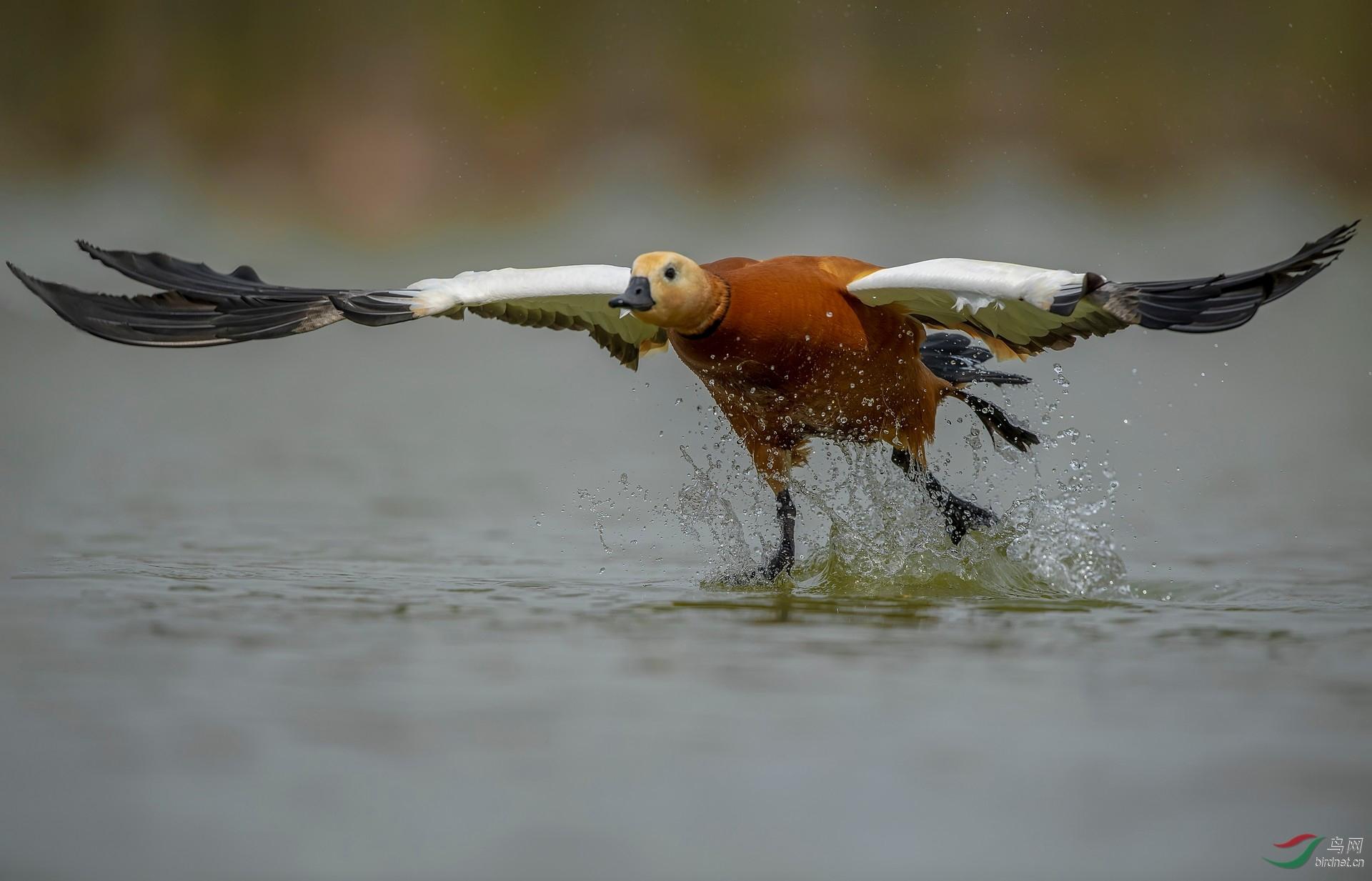 0515.赤麻鸭-起飞-网投.jpg