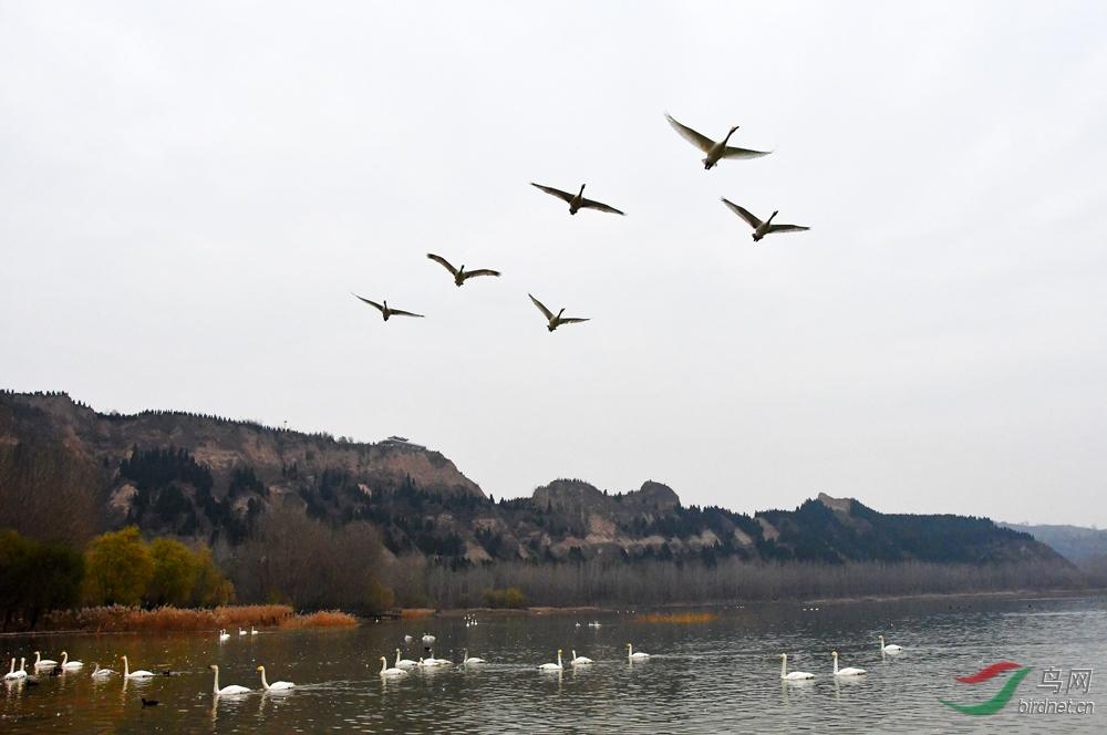 平陆天鹅湖-D500、18-200镜头-02-1000.jpg