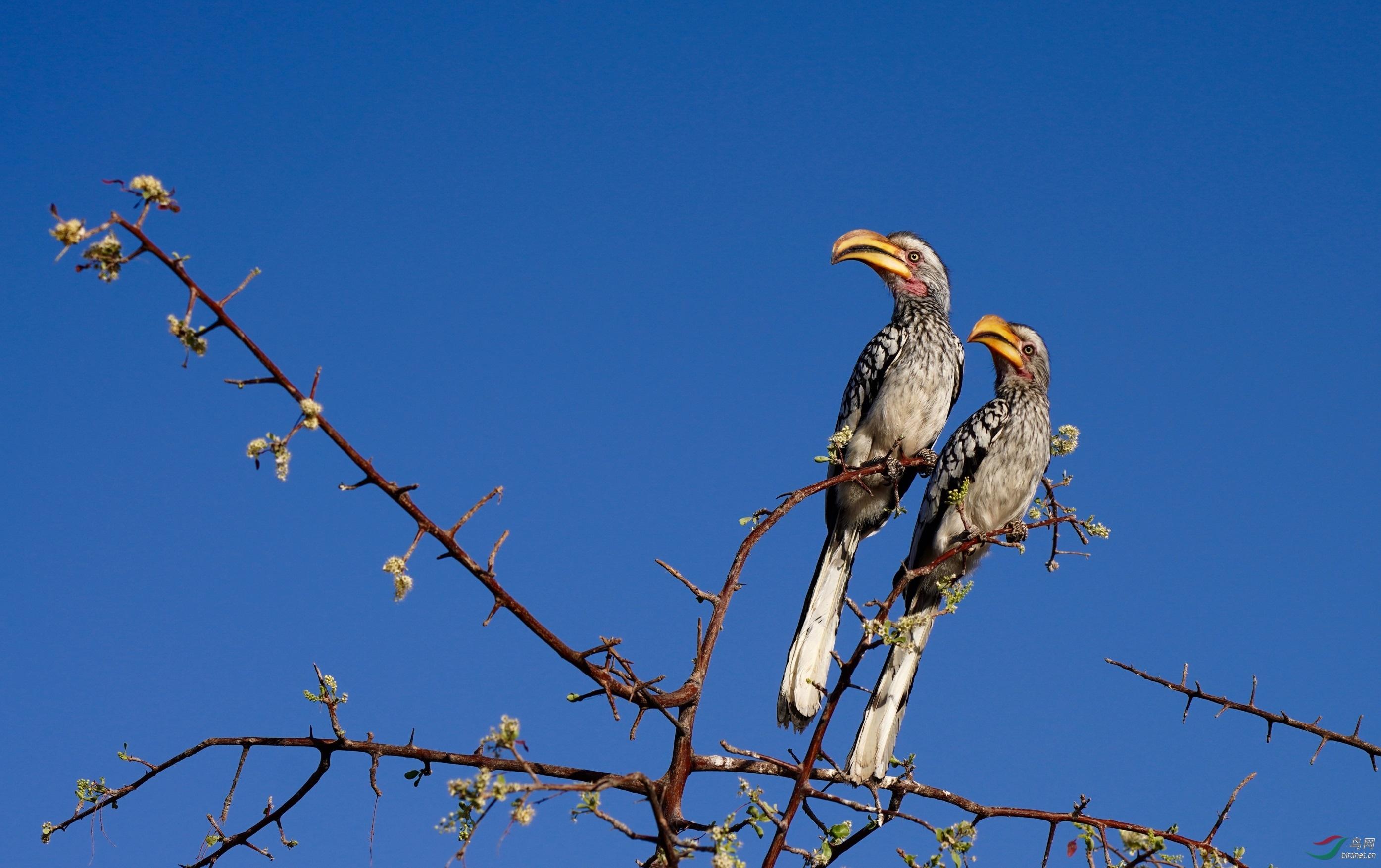黄弯嘴犀鸟-2.jpg