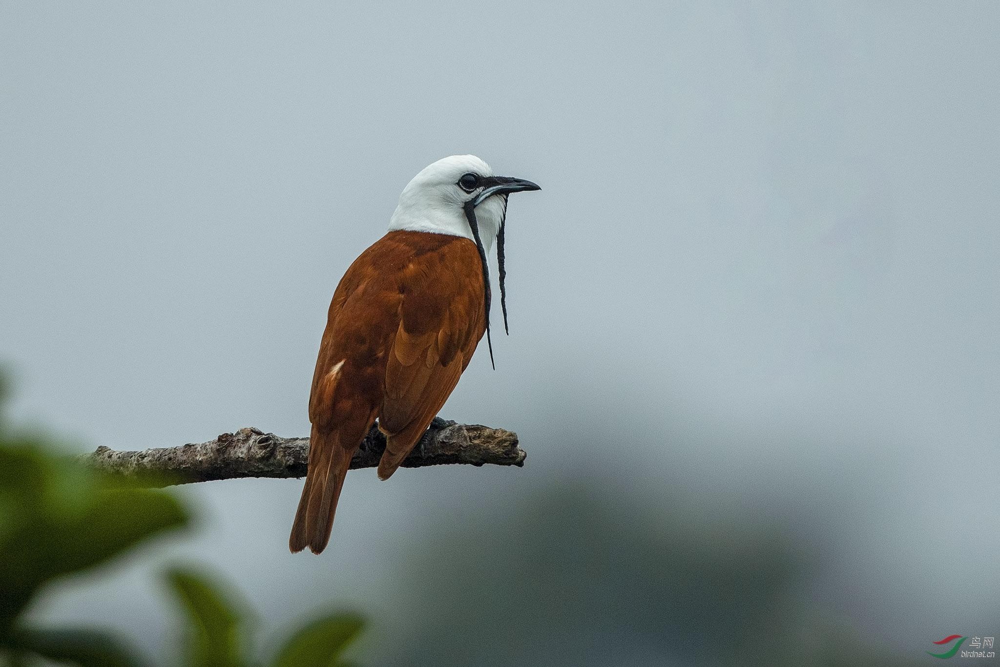 肉垂钟伞鸟