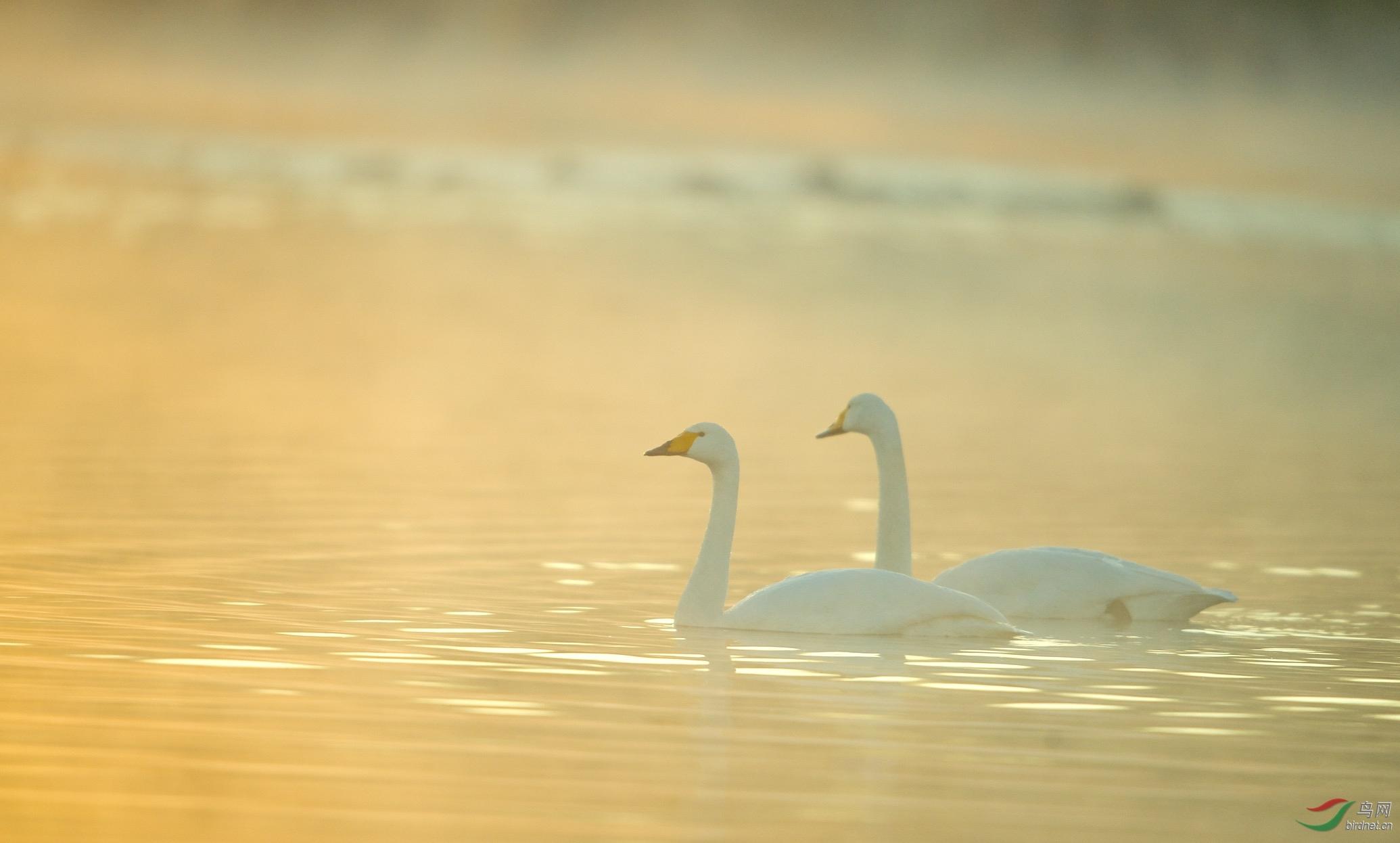 晨光下的天鹅
