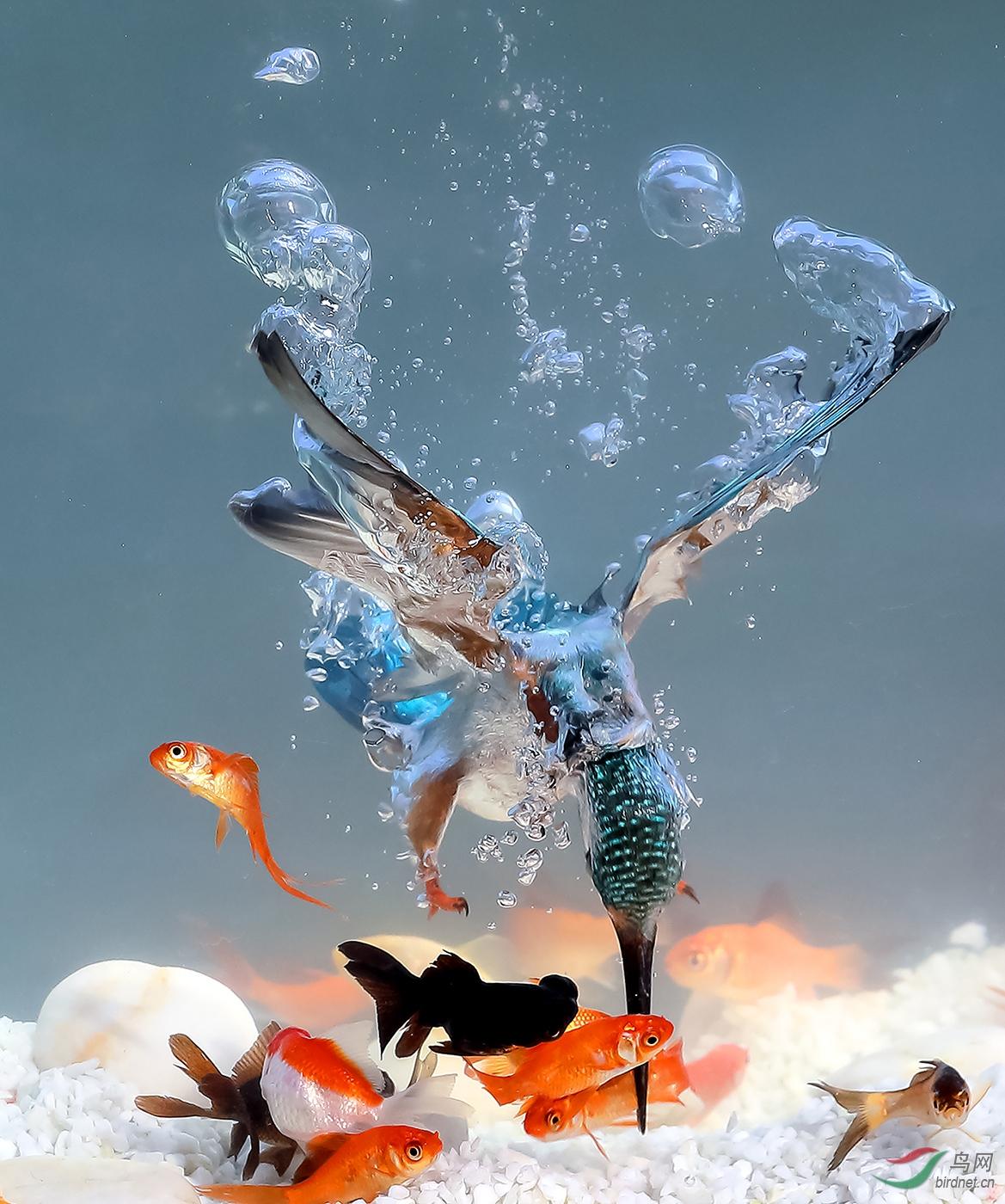 王坚——风雨飘渺w-004艺术最佳奖-1693.翠鸟水下叼鱼_艺术(画意)摄影.jpg