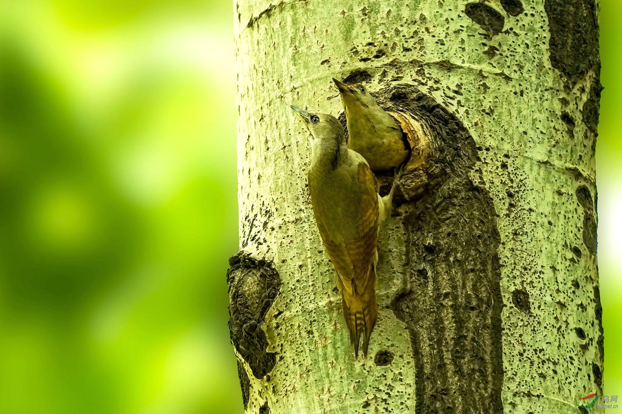 灰头绿啄木鸟30-2.jpg