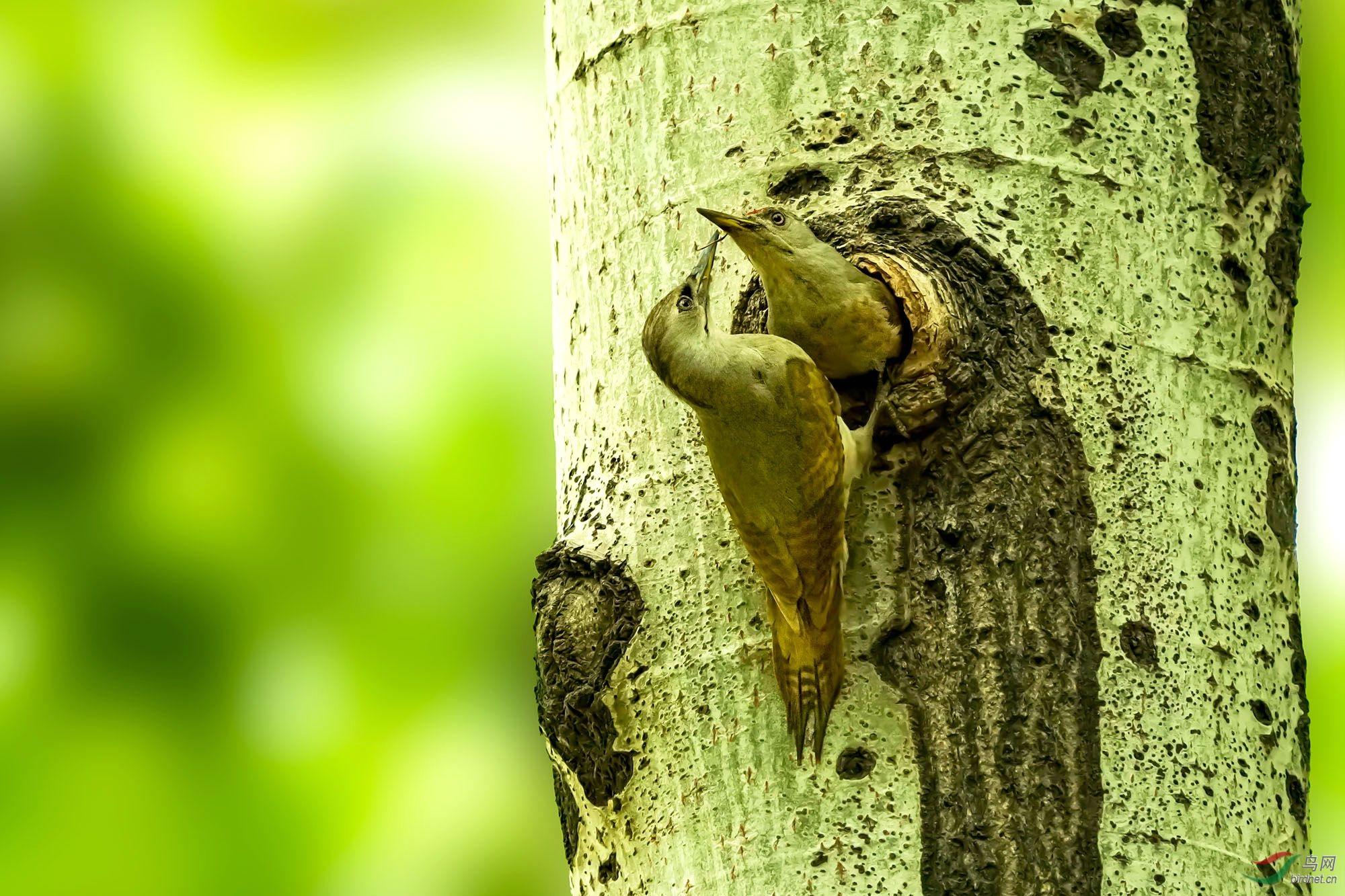 灰头绿啄木鸟31-2.jpg